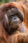 Borneo Orang Oetan