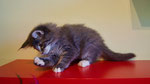 Falco, 10 Wochen alt