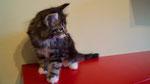 Hawkwoman, 8,5 Wochen alt