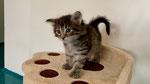 Kerinchi, 5 Wochen alt