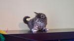 Falco, 7 Wochen alt