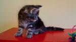 Hellcat, 8,5 Wochen alt