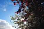 太陽の光が差し込むと 紅葉した葉っぱたちがステンドグラスみたいに明るくなって綺麗