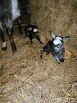 I-5 et I-6 Jour de leur naissance - 2 femelles nées de Galante