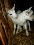 I-3 et I-4, chevreaux de Gomette - Jour de leur naissance 2013-03-09
