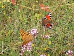 Die Blütenpracht der kargen Böden lockt Schmetterlinge und andere Insekten an.