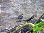 Die Wasseramsel jagt im Wasser nach Fliegenlarven und kleinen Insekten.
