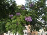 日本のジャカランダはどうして、こんなに葉が茂るのでしょう。アフリカやオセアニアでは花ばかりが、まず咲く