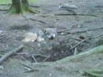 n echter Wolf (leider mit schlechter Cam aufgenommen)