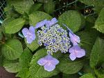 見つけたよ紫陽花♪
