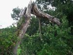 Typisch gemeiner Odenwälder Hochstamm