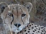 CHEETAH SOLITAIRE KOIIMASIS TIRAS MOUNTAINS NAMIBIA MOTORRADREISEN ENDUROTOUREN QUADTOUREN GELÄNDEWAGENTOUREN ABENTEUERREISEN OFFROADTOUREN / NAMIBIA KALAHRI FISHRIVER CANYON SOSSUSVLEI