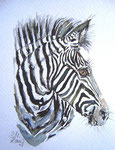 Zebraschönheit - verkauft