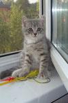 Альфред(мама  Афелия)Кот питомника