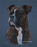 "Olde English Bulldog ""Biene"" - 2011"