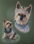 "Yorkshire Terrier ""Lucy"""