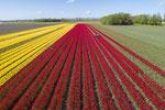 Tulpenveld Blokzijl met drone