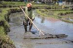 Hard werken op de rijstvelden