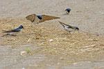 Mehlschwalben beim Nestbau   (Foto:  © Peter Vesely)