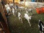 Las cabras provedoras de crías, leche, estiércol y alegría en el rancho