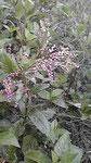 藍の花。生葉染め用。