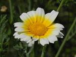 菊菜の花1 /14.05.27