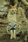ein fotogener Serval