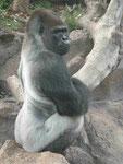 Gorilla im Loro Park, Teneriffa