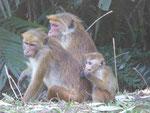 Affen bei Sigiriya, Sri Lanka