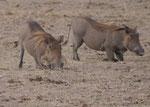 Warzenschweine in Kenia