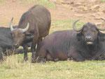 Büffel  in einem privaten Tierpark in Südafrika