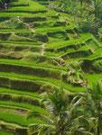 Reisfelder, Bali, Indonesien