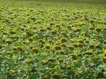 Sonnenblumenfeld in der Oberlausitz