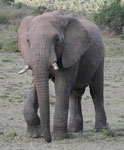 Elefant in Kenias Nationalparks
