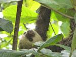 Dreifingriges Faultier, Costa Rica
