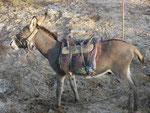 Esel an der Strasse nach Taschkent, Usbekistan
