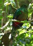 Quetzalweibchen, Costa Rica