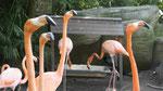Flamingo im Freihafen von Cartagena de Indias/Kolumbien