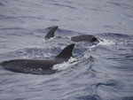 Delfine vor Sao Miguel, Azoren, Portugal