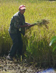 Reisbauer mit Sichel in Dali, China