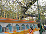 Bodhibaum in der indischen Mission in Sarnath  bei Varanasi, Indien