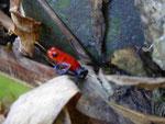 Roter Pfeilgiftfrosch, Costa Rica