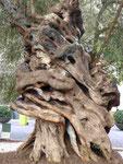 Alter Olivenbaumstamm in Palma de Mallorca