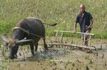 Wasserbüffelbauer am Li-Fluss, China