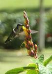 Kolibri auf Samana, Dominikanische Republik