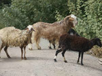 Ziegenherde im Oman