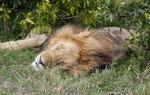 Löwe im Massai Mara Nationalpark, Kenia