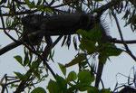 Leguan, Costa Rica