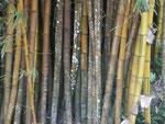 Riesenbambus auf Mahe, Seychellen