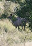 Kudubock  im Kruger National Park, Südafrika